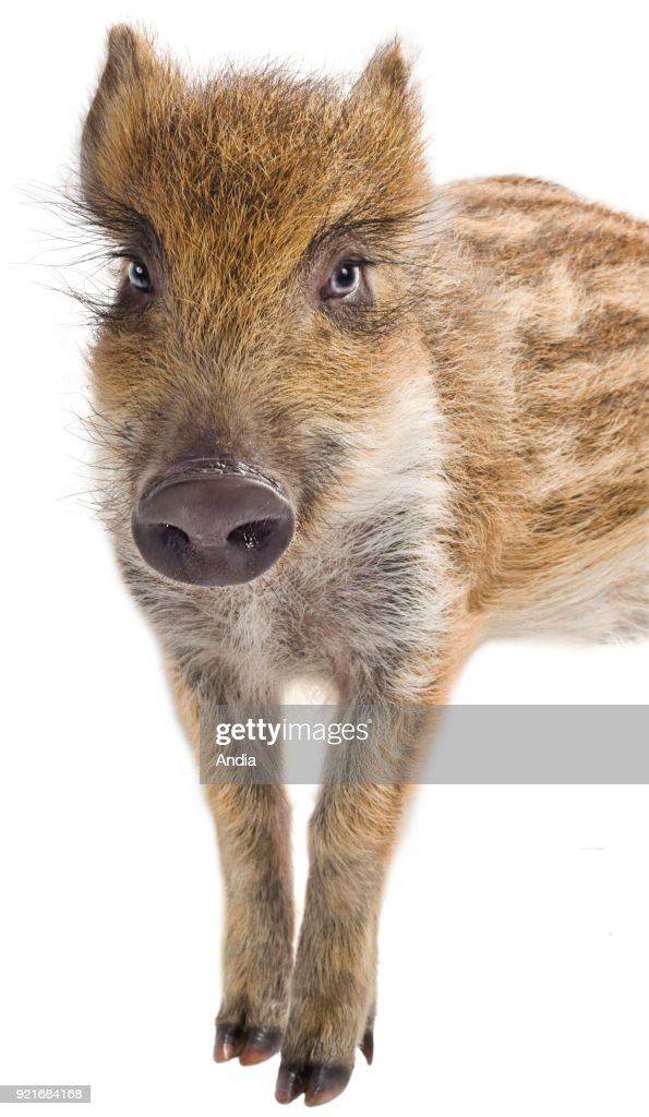 Young wild boar, outlined, full-face, with stripes.