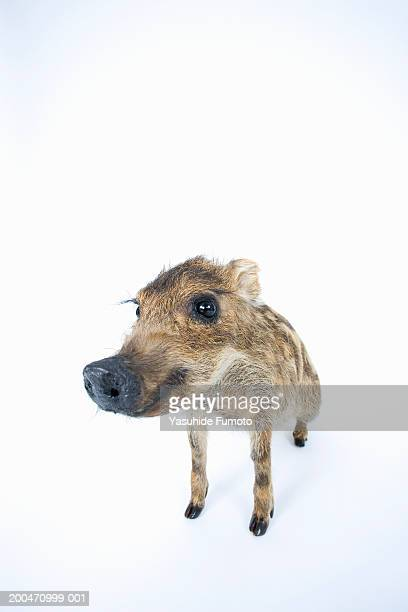 young wild boar (sus scrofa) - pig nose stock pictures, royalty-free photos & images