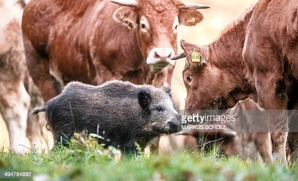 A young wild boar sniffs at a cow on a meadow in Moerel northern Germany on October 28 2015 The wild boar has joined the cow herd a month ago and has...