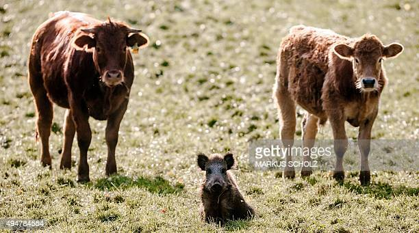 A young wild boar stands between two calves on a meadow in Moerel northern Germany on October 28 2015 The wild boar has joined the cow herd a month...