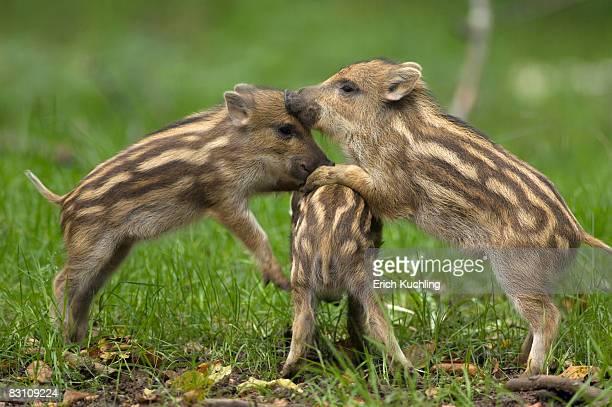 young wild boars (sus scorfa) - wildschwein stock-fotos und bilder