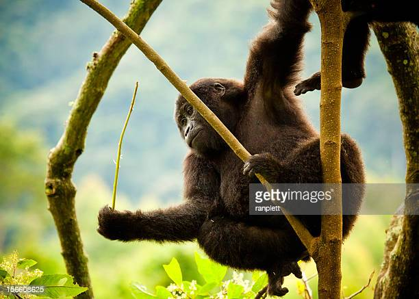 young wild gorilla hanging from a tree - uganda stock pictures, royalty-free photos & images