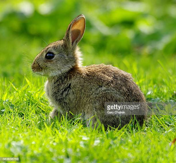 A young wild rabbit