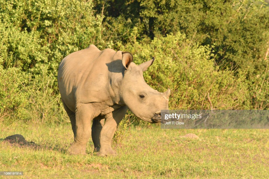 Young Wild White Rhino In South Africa High-Res Stock