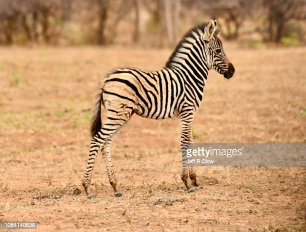 young wild zebra in south africa - animated zebra stock pictures, royalty-free photos & images