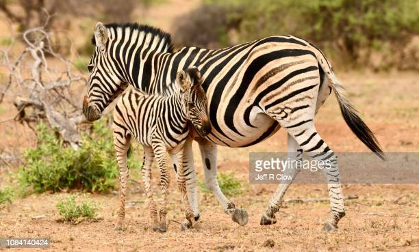 young wild zebra leans into its mom in africa - animated zebra stock pictures, royalty-free photos & images