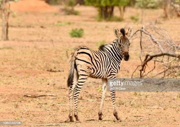 young wild zebra stands in south africa - animated zebra stock pictures, royalty-free photos & images