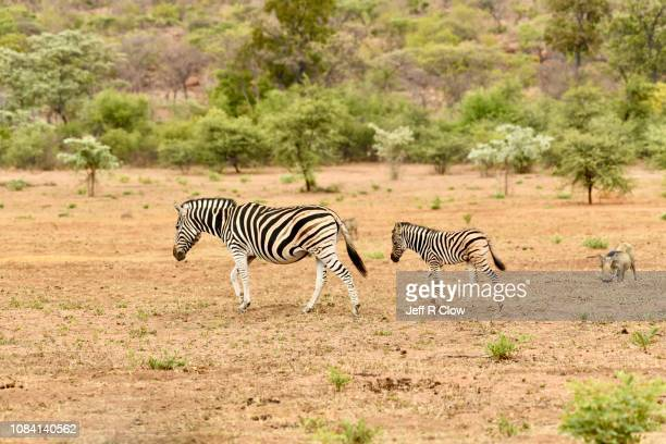 young wild zebra walks with its mom in africa - animated zebra stock pictures, royalty-free photos & images