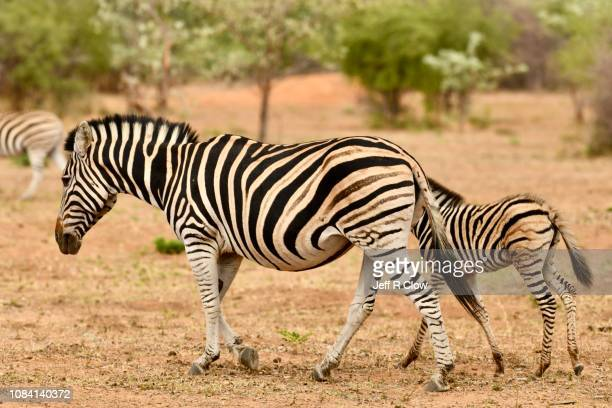 young wild zebra with its mom in africa - animated zebra stock pictures, royalty-free photos & images