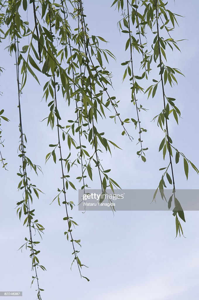 Young willow leaves against blue sky : Stock Photo