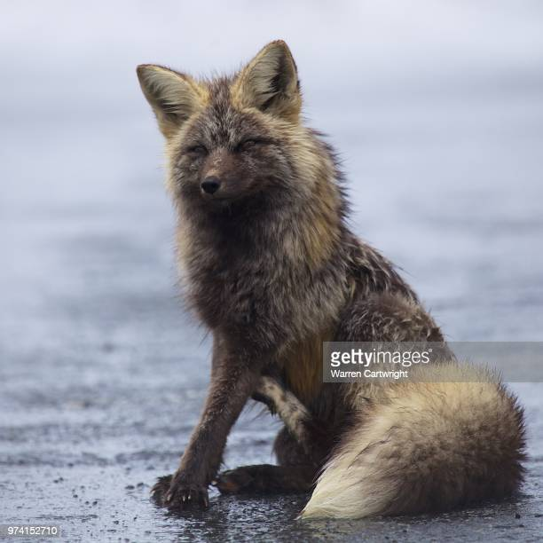 young wolf (canis lupus lupus) sitting - wild dog stock pictures, royalty-free photos & images