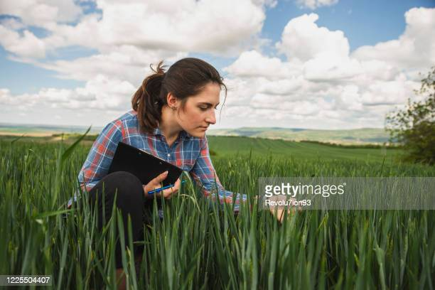young woman agronomist inspect the wheat crop on the field - agronomist stock pictures, royalty-free photos & images