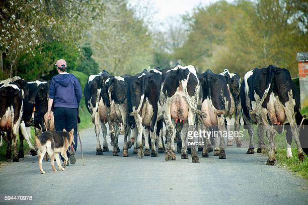 Young woman and german sheperd dog herding cows