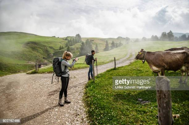 young woman and teenage boy looking at cow in rural setting - catinaccio rosengarten foto e immagini stock