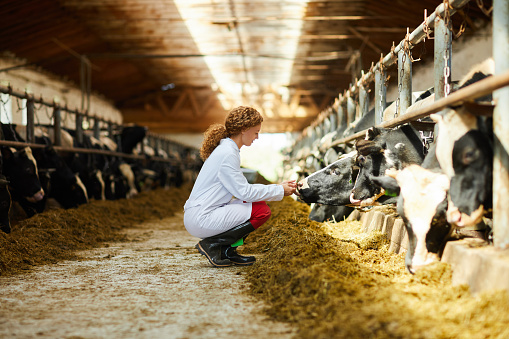 Young Woman Caring for Cows 1030239488