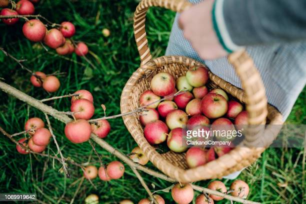 young woman collecting apples in a basket. - apple harvest stock pictures, royalty-free photos & images