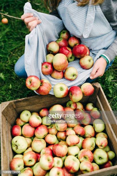 young woman collecting apples in the fall - apple harvest stock pictures, royalty-free photos & images