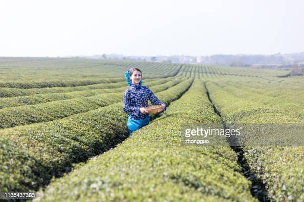 young woman collecting tea - yunnan province stock pictures, royalty-free photos & images