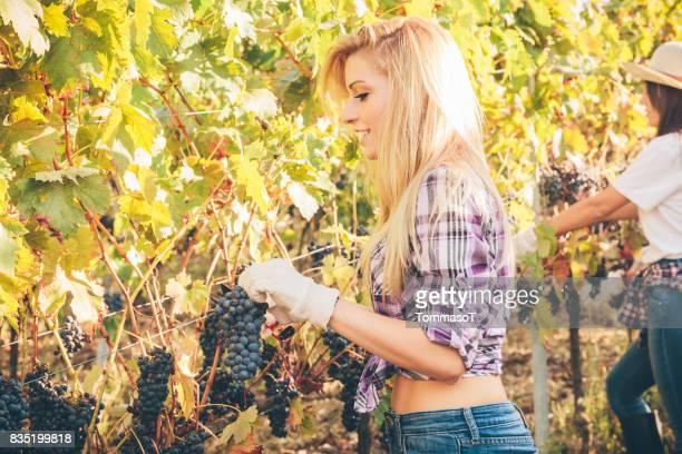 Jonge vrouw snijden druiven van de wijnstok