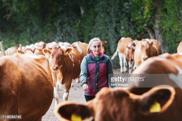 young woman driving herd of guernsey cows along a rural road. - organic farm stock pictures, royalty-free photos & images