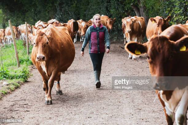 young woman driving herd of guernsey cows along a rural road. - dierenwelzijn stockfoto's en -beelden