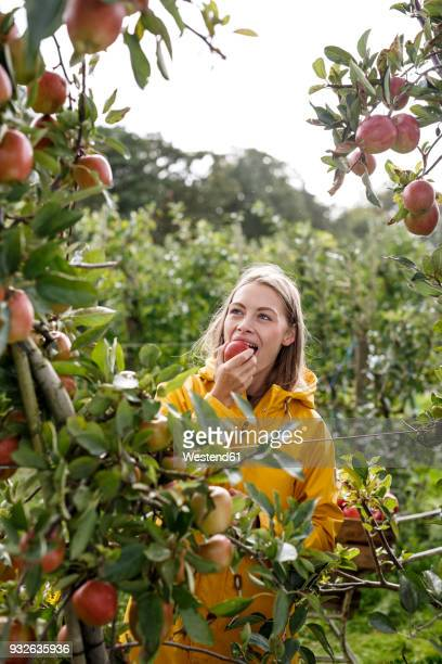 young woman eating apple from tree in orchard - apfelbaum stock-fotos und bilder