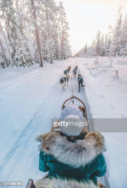 フィンランドのラップランドでハスキー犬ぞりを楽しむ若い女性 - 犬ぞりに乗る ストックフォトと画像