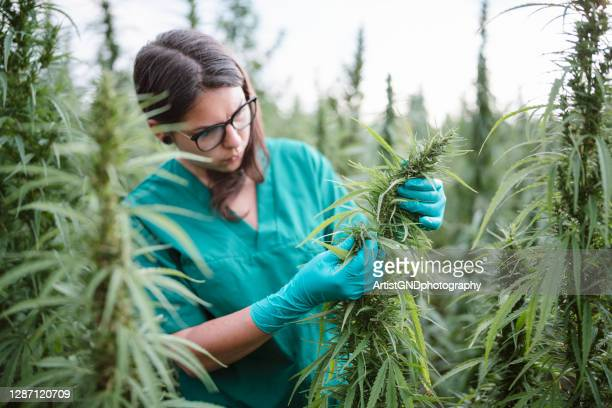 young woman examining cannabis plants. - cbd oil stock pictures, royalty-free photos & images