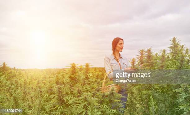 young woman farmer harvesting hemp plants - hemp stock pictures, royalty-free photos & images
