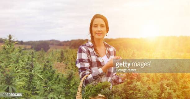 young woman farmer harvesting hemp plants - marijuana leaf stock pictures, royalty-free photos & images