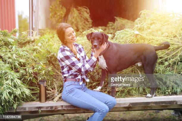 young woman farmer harvesting hemp plants with pet dog - cbd oil stock pictures, royalty-free photos & images