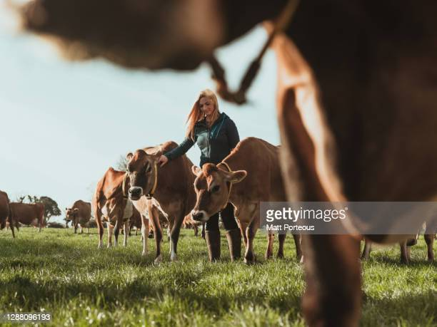 young woman farmer in a field with cows - farmer stock pictures, royalty-free photos & images