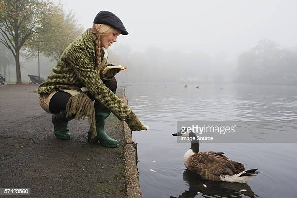 young woman feeding goose in park - tweed stock pictures, royalty-free photos & images