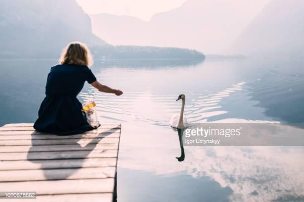 young woman feeding swans - hallstatt stock-fotos und bilder