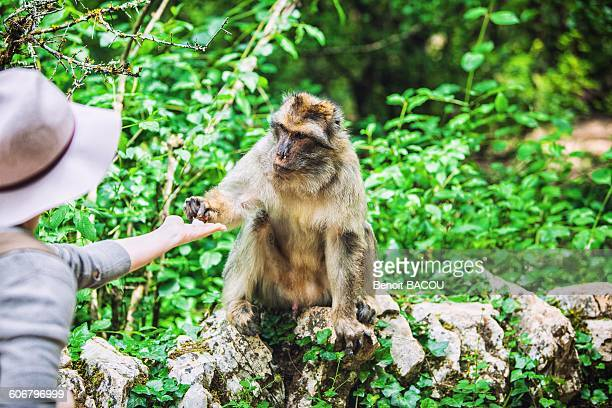 young woman feeds a barbary macaque, monkeys forest, rocamadour, lot, france - rocamadour stock pictures, royalty-free photos & images