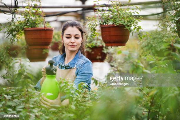 young woman gardener in a large greenhouse with pots of seedlings. - pest stock photos and pictures