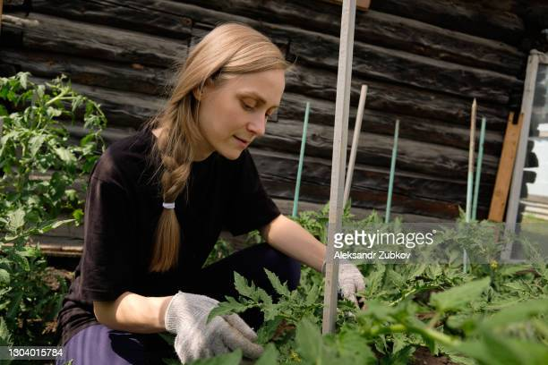 a young woman gardener ties up tomato bushes in the garden, in the greenhouse, makes a support for them. growing organic farm products. - women in suspenders stock pictures, royalty-free photos & images