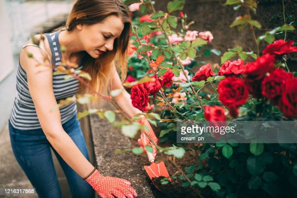 young woman gardening in the backyard on a spring day - red roses garden stock pictures, royalty-free photos & images
