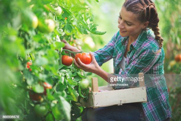young woman gathering tomatoes - organic farm stock pictures, royalty-free photos & images