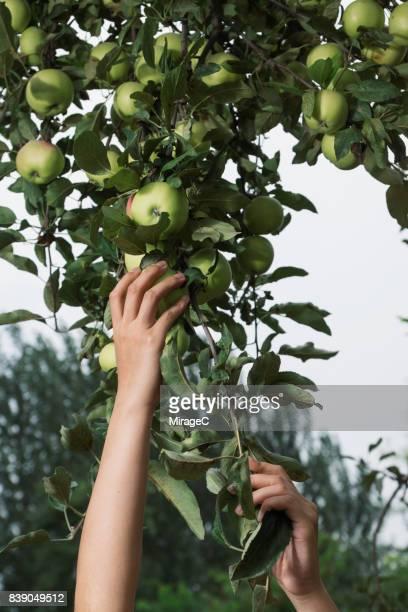 Young Woman Hand Grabbing Green Apples