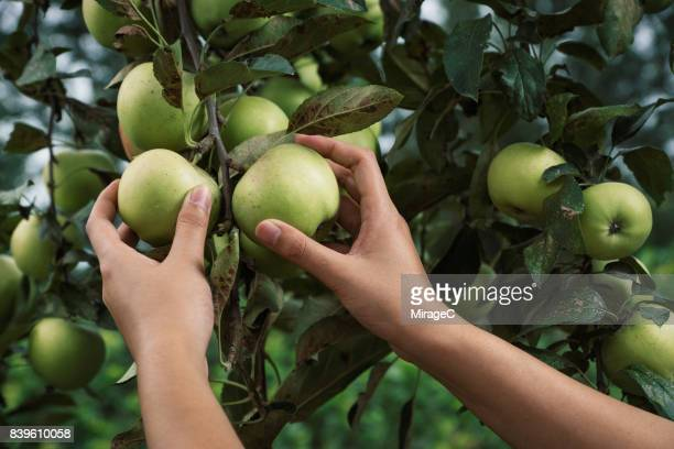 Young Woman Hand Picking Green Apples