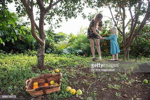 young woman handing freshly picked orange to toddler daughter in garden - kona coast stock photos and pictures