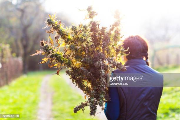young woman harvesting a medical marijuana plant - marijuana herbal cannabis stock pictures, royalty-free photos & images