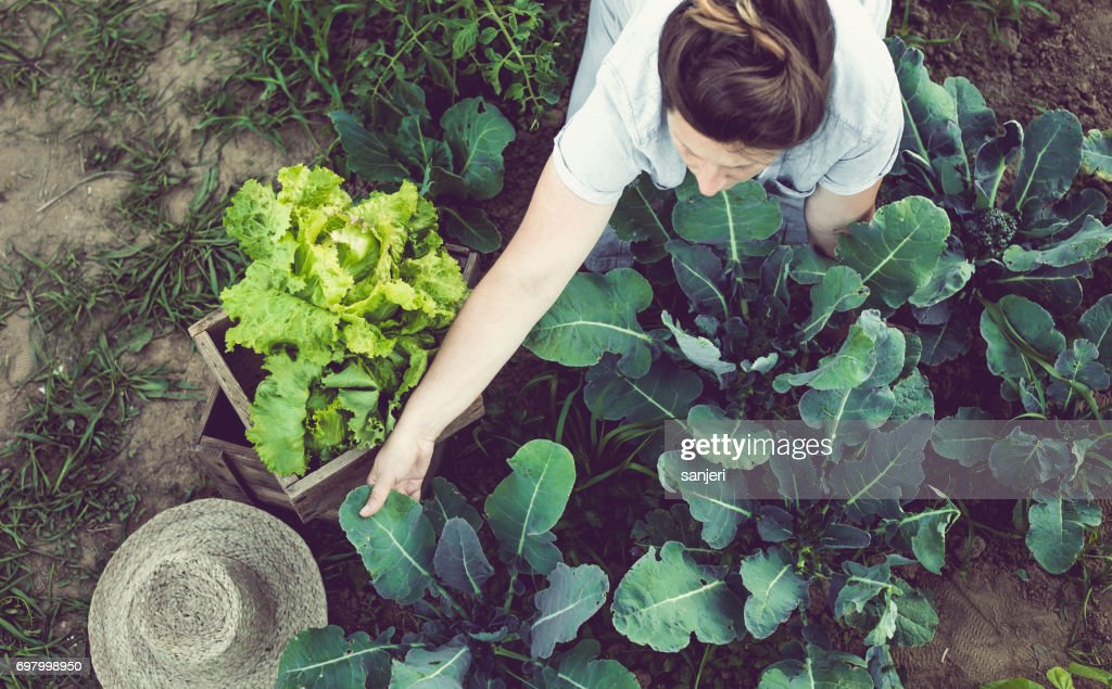 Young Woman Harvesting and Storing Home Garden Vegetables : Stock Photo