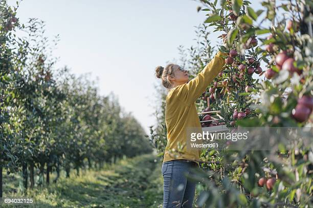 young woman harvesting apples - apple fruit stock photos and pictures