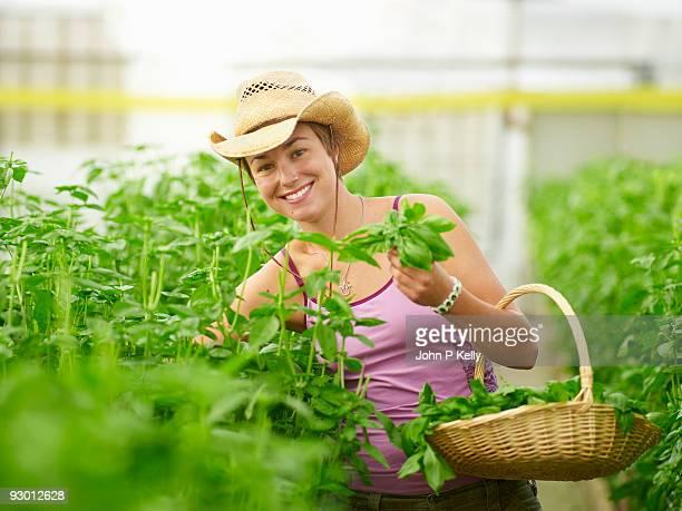 young woman harvesting basil in greenhouse - コロラド州 ニューキャッスル ストックフォトと画像