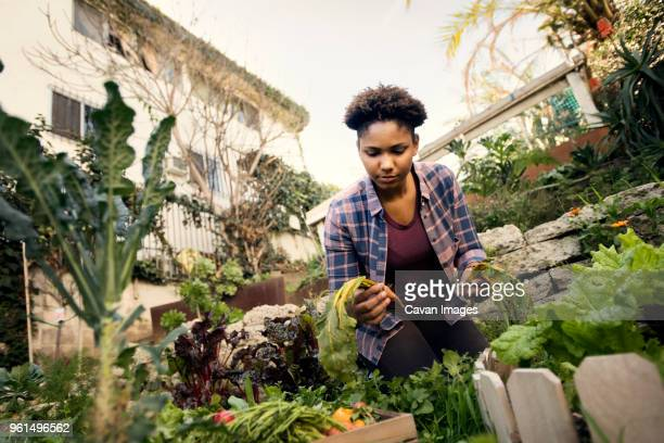 young woman harvesting fresh vegetables at organic farm - urban garden stock pictures, royalty-free photos & images