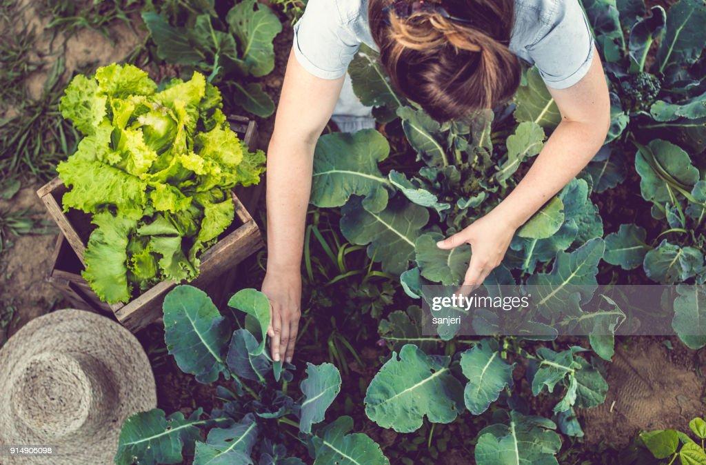 Colheita de alface cultivada em casa de mulher jovem : Foto de stock