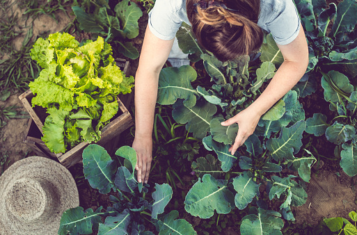 Young Woman Harvesting Home Grown Lettuce 914906098