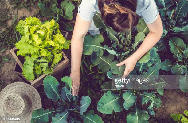 young woman harvesting home grown lettuce - sustainability stock photos and pictures